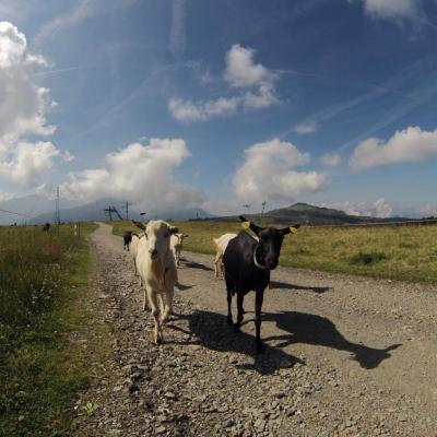 Les chèvres de nos alpages